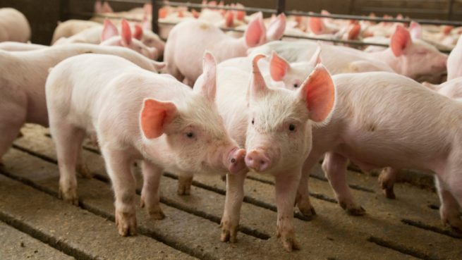 Pig farming guide for beginners: How to start your own pig farm business | Best Farming Tips